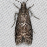 5926 Elm Leaftier Moth yard 6-7-15