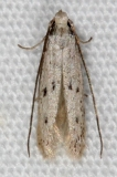 5935 Sunflower Moth BG tentative Moth Collier-Seminole St Pk 3-6-15