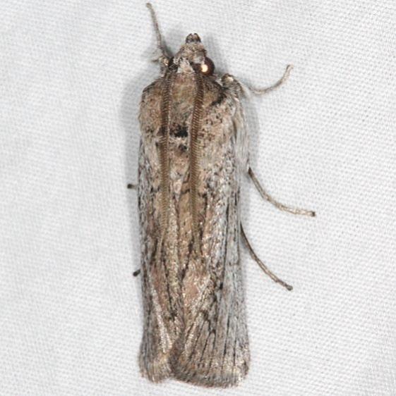 5937 Homoeosoma striatellum BG Bluewater1 Lake St Pk New Mexico 5-22-17 (11)_opt