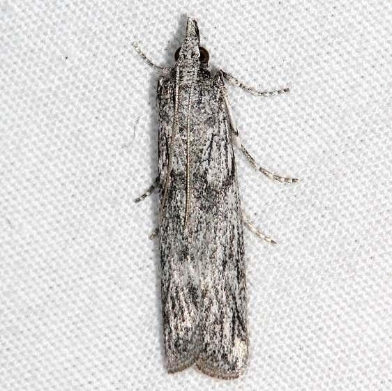 5942 Homoeosoma impressalis Fool Hollow Lake St Pk Ariiz 5-23-17 (127)_opt