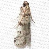 5944.99 Homoeosoma nr deceptorium Hidden Lake Everglades Fl 3-9-13