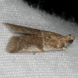 5963 Unidentified Rostrolaetilia Moth tentative BG Collier-Seminole St Pk 3-4-15