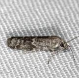 5995 American Plum Borer Moth yard 7-26-13
