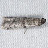 6004.97 Unidentified Ephestiodes Moth Lucky Hammock near Everglades 2-27-15_opt
