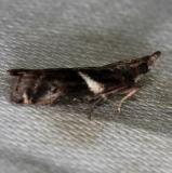 6012 Crescent-winged Caudellia Moth Big Lagoon St Pk Fla 11-10-13