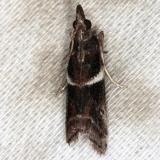 6012 Crescent-winged Caudellia Moth Big Lagoon St Pk Fl 11-10-13