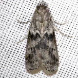 6020 Mediterranean Flour Moth Carter Cave St Pk Ky 4-23-13