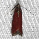 6029 Vameria postremella Alexander Springs Ocala Natl Forest 3-19-13