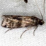 6041.98 Unidentified Phycitinae Moth BG NABA Gardens Misssion Tx 11-4-13