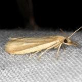 6044 Peoria tetradella Moth yard 7-14-13