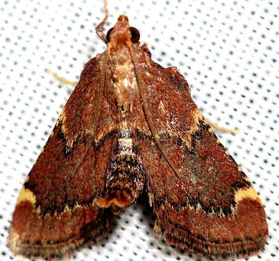 5526 Red-shawled Moth yard 6-7-12_opt