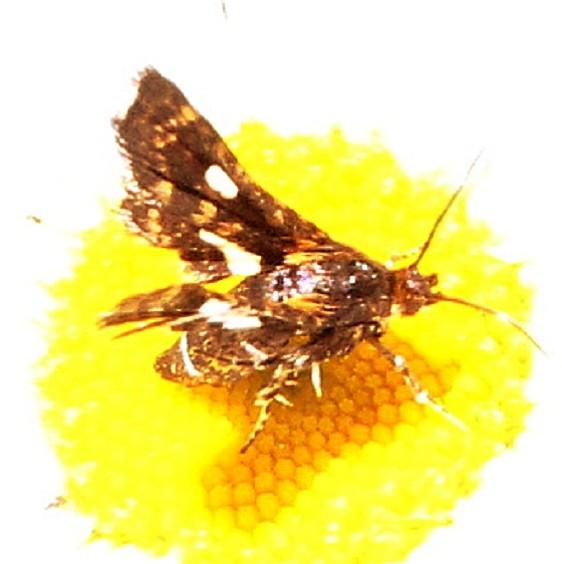 6076 Spotted Thyris Moth Shingleton Bog UP Mich 6-19-16 (56a)_opt