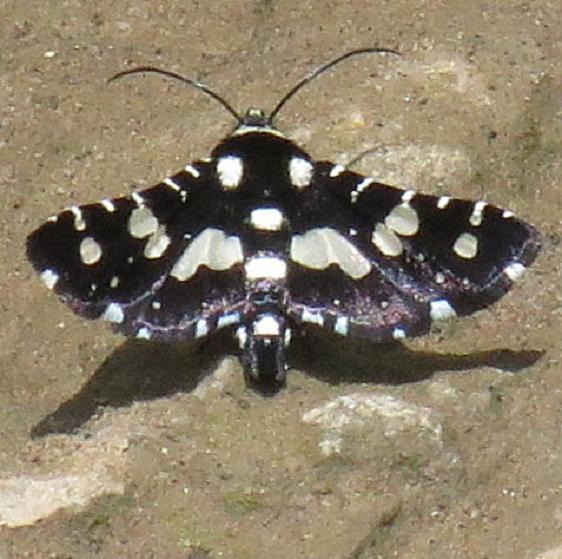 6077 Mournful Thyris Moth Clearcreek Metro Oh 5-16-13