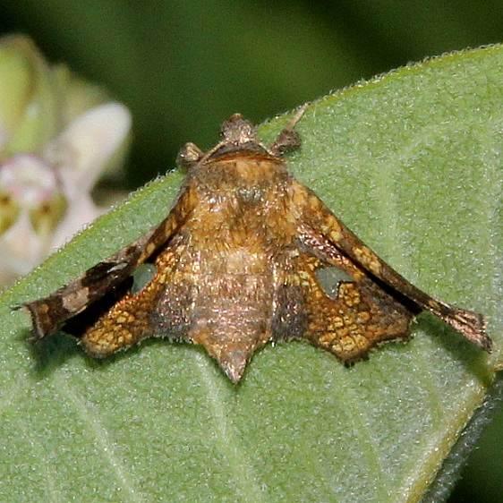 6078 Eyed Dysodia Moth Shivley Fen Logan Co 6-25-16 (2)_opt