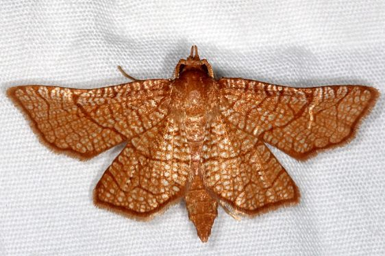 6082 Sea Grape Borer Moth Lucky Hammock near Everglades 2-27-15