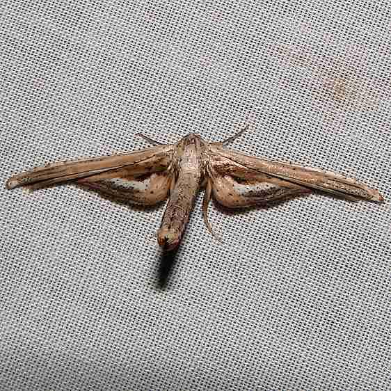6085 Window-winged Moth CREW Marsh Fl 3-7-12