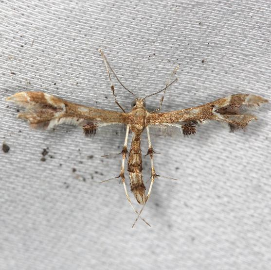 6091 Grape Plume Moth yard 6-9-13
