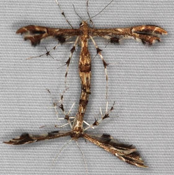 6091.1 Shepard's Plume Moth Turkey Lake Shawnee St Pk Oh 6-12-15