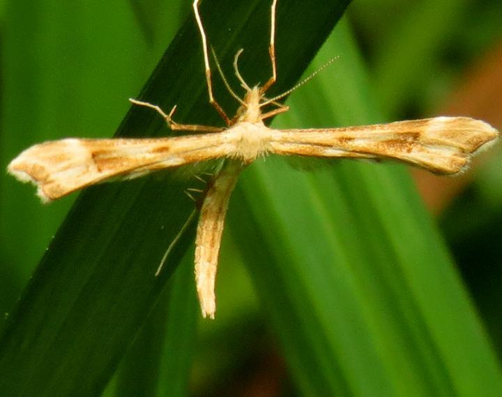 6107 Yarrow Plume Moth Eighteen Mile Creek Mich UP 6-25-13