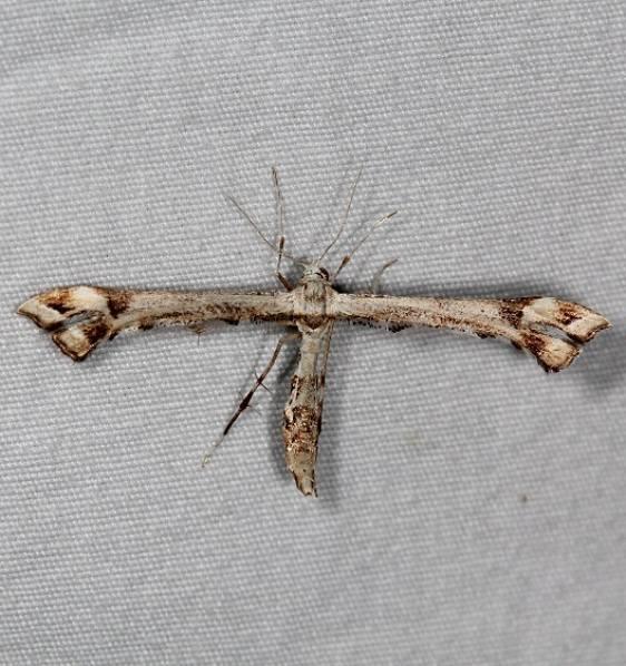 6109 Artichoke Plume Moth yard 5-2-15