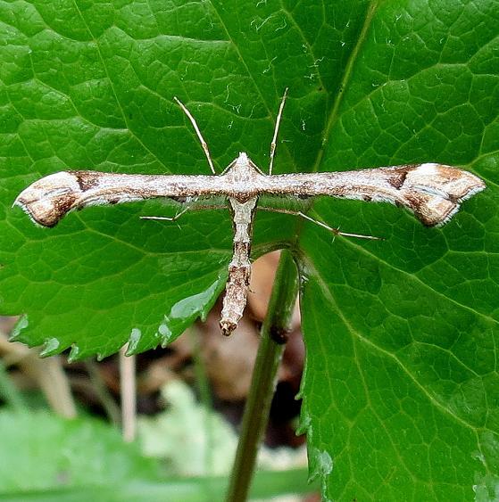6118 Geranium Plume Moth Miller Preserve Highland Co Oh 4-29-13