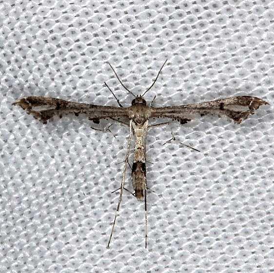 6119 Lantana Plume Moth NABA Gardens Texas 11-3-13