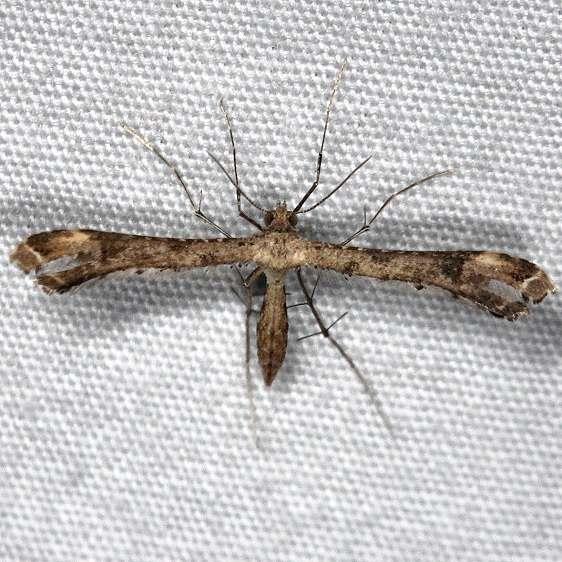 6122 Stenoptilodes brevipennis yard 8-29-14 (10)_opt