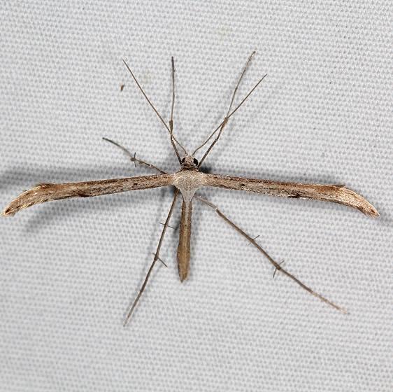 6154 Befrage's Plume Moth yard 6-25-16 (12a)_opt