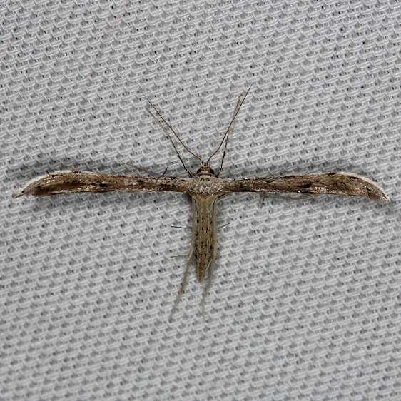 6154 Belfrage's Plume Moth Tosohatchee WMA Fl 2-11-14