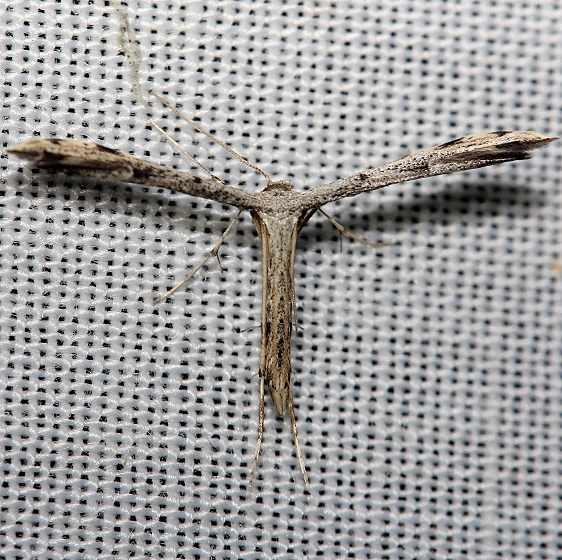 6186 Black-marked Plume Moth yard 8-14-12