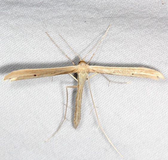 6210 Baccharis Borer Plume Moth Ash Rapids Lodge Lake of the Woods Ont 7-25-17 (1)_opt