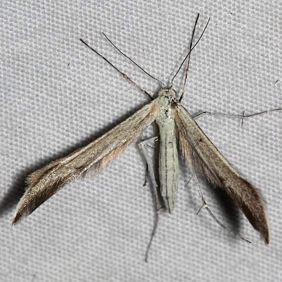 6233.97 Unidentified BG Hellinsia Moth Mueller St Pk Colorado 6-20-17 (74)_opt