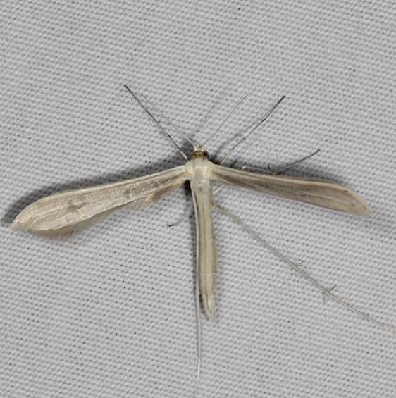 6233.97 Unidentified Hellinsia Moth Fool Hollow Lake St Pk Ariiz 5-23-17 (47)_opt