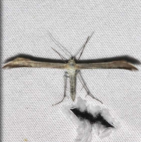 6234.99 Unidentified Pterophoridae Moth Mueller St Pk Colorado 6-19-17 (204)_opt