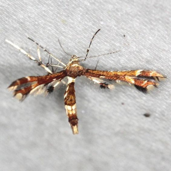 6093 Buck's Plume Moth yard 6-5-13
