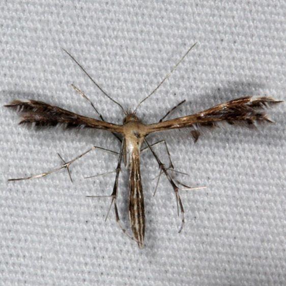 6098 Sundew Plume Moth yard 7-14-15