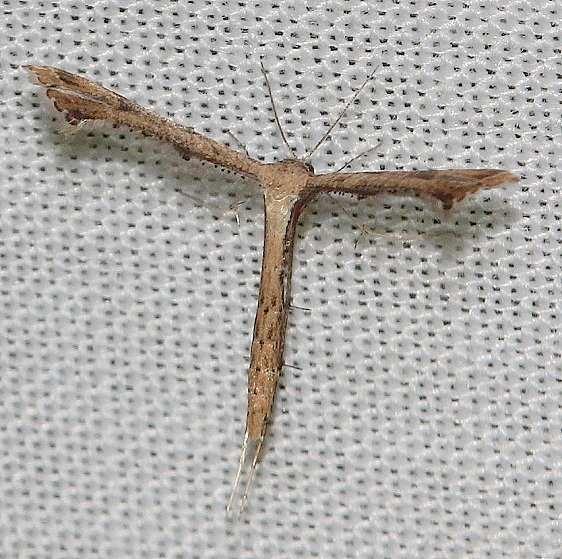6123.97 Unidentified Stenoptilodes Moth yard 10-23-13