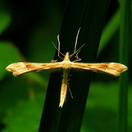 6142.97 Unidentified Paraplatyptilia Plume Moth Eighteen Mile Creek Mich UP 6-25-13