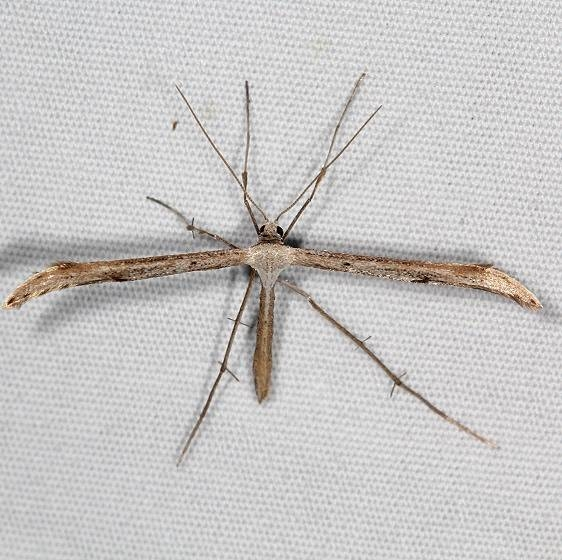 6154 Befrage's Plume Moth yard 6-25-16 (12a)_opt