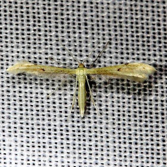6155.1 Adaina simplicius Everglade Natl Pk Nike Missle Rd 3-5-13