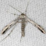 6160 Ambrosia Plume Moth yard 8-9-13