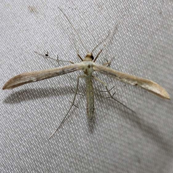 6203 Hellinsia homodactylus Schively Fen Logan Co Oh 6-12-12