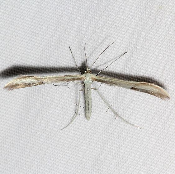 6206 Helinsia pectodactylus tentative Golden Gate Canyon St Pk Colorado 6-28-17 (14)_opt