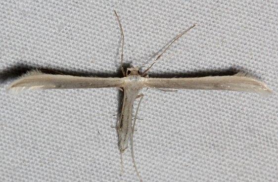 6206 Hellinsia pectodactylus tentative Colorado National Monument 6-17-17 (90)_opt