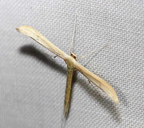 6212 Goldenrod Plume Moth yard 5-30-12
