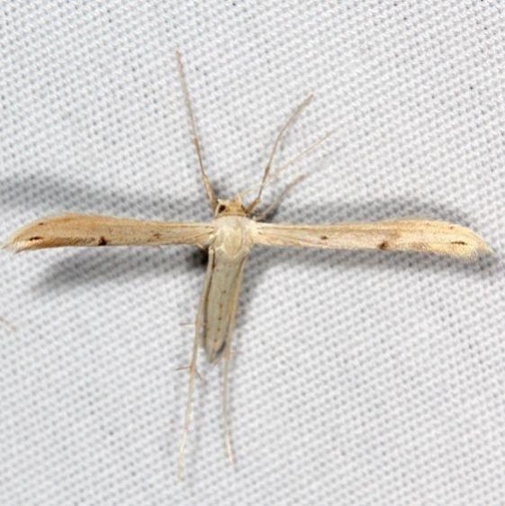 6233.97 Unidentified Hellinsia Moth BG Campsite 119 Falcon St Pk 10-22-16_opt