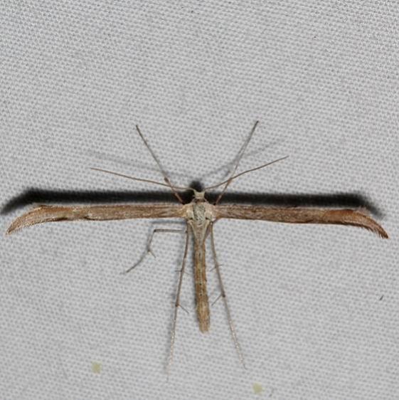 6233.97 Unidentified Hellinsia Moth Mesa Verde Colorado 6-11-17 (33)_opt