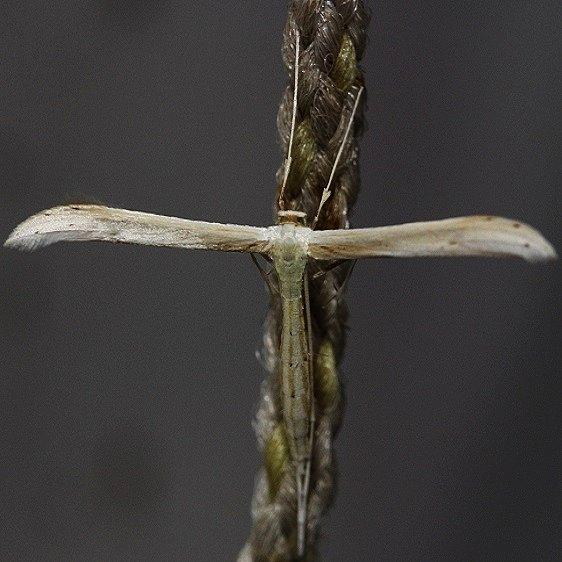 6233.97 Unidentified Plume Moth Hellinsia spp yard 5-14-12