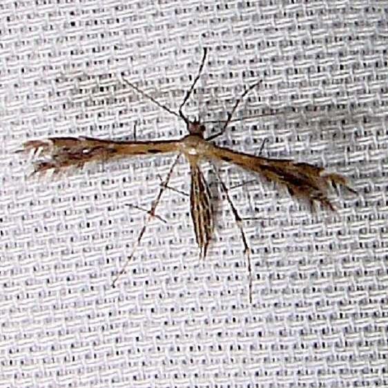6098 Sundew Plume Moth Grasshopper Lake Ocala Natl Frt FL 3-15-12