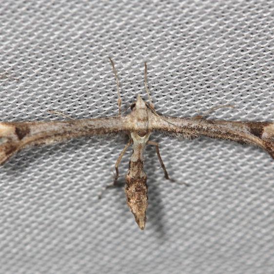 6118 Geranium Plume Moth yard 5-8-13